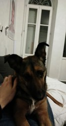 Matsya, chien Berger belge