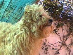 Maurice , chien Caniche