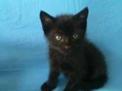 Maurice, chat Européen