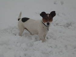Maurice, chien Jack Russell Terrier