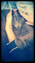 Maurice, chat Korat