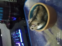 Maurice, rongeur Hamster