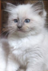 Mauricette, chat Ragdoll