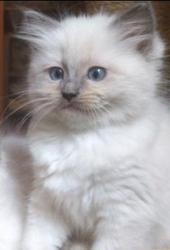 Mauricette, chat Ragdoll