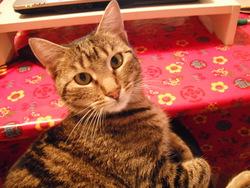 Mauricette, chat Européen