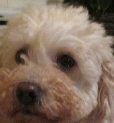 Maurine, chien Caniche