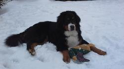 Maverick, chien Bouvier bernois
