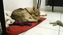 Mavrik, chien Chien-loup tchèque