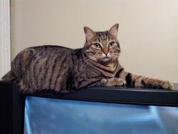Maxwell, chat Européen