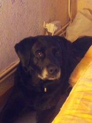 Max, chien Labrador Retriever
