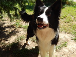 Max, chien Border Collie