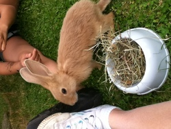 Silver, rongeur Lapin