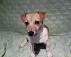 Max , chien Jack Russell Terrier