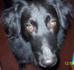 Max, chien Terre-Neuve