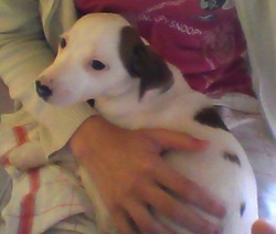 Max, chien Jack Russell Terrier