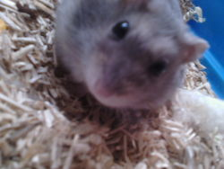 Max, rongeur Hamster