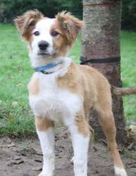 Max, chien Colley à poil long