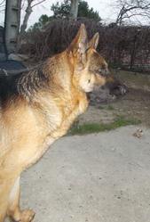 Max, chien Berger allemand
