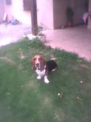 Max, chien Basset artésien normand