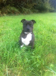 Max, chien Staffordshire Bull Terrier