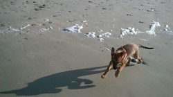 Max, chien Berger belge