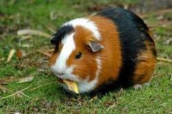 Max, rongeur Cochon d'Inde