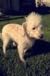 Max, chien Caniche