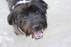 Max, chien Bichon havanais