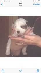 Max , chien Bouledogue français