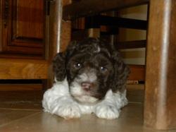 Max, chien Chien d'eau romagnol