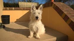 Max, chien West Highland White Terrier