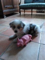 Max, chien Berger australien