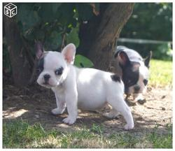 Max, chien Bouledogue français
