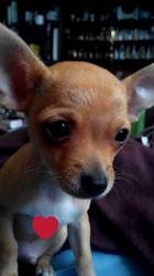Max, chien Chihuahua