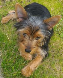 Max, chien Yorkshire Terrier