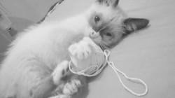 Max, chat Siamois