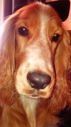 Max, chien Cocker anglais