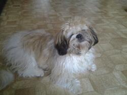 Max, chien Shih Tzu
