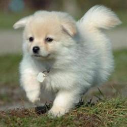 Max, chien Spitz japonais