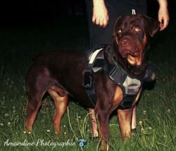 Max, chien Rottweiler