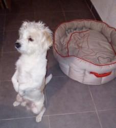 Max, chien Bichon maltais