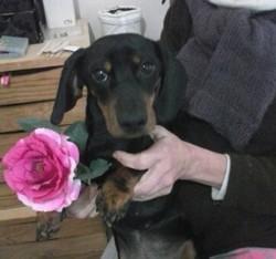 Max, chien Teckel