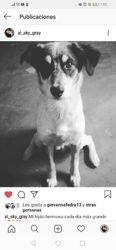 Max, chien Affenpinscher