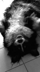 Max, chien Bouvier bernois