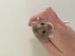 Maxi, rongeur Hamster