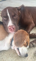 Maxi, chiot Bull Terrier