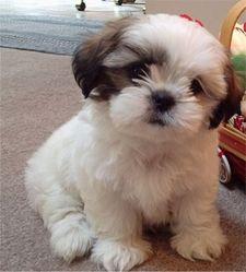 Maxi, chien Shih Tzu