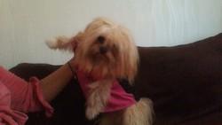 Maxi, chien Bichon maltais