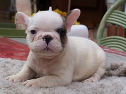 Maxime, chien Bouledogue français