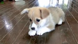Maxime, chien Chihuahua